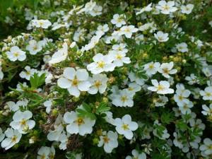 лапчатка белая цветы