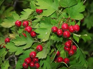 боярышник ветка с плодами