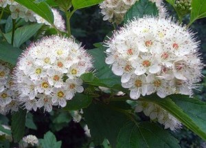 соцветия боярышника