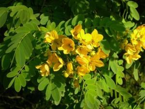 сенна растение с цветками