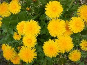 цветущие одуванчики