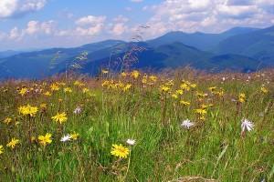 Арника горная цветущая