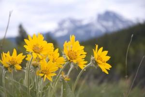 Арника горная цветки крупный план