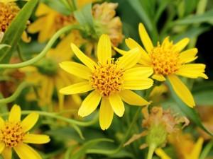 Баранник горный цветы