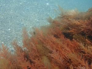 Цистозейра бородатая в море
