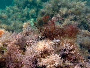 Цистозейра бородатая на дне моря