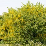 Бобовник анагировидный цветущее дерево