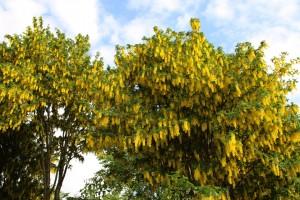 Бобовник анагировидный крона цветы