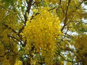 Бобовник обыкновенный соцветие крупный план