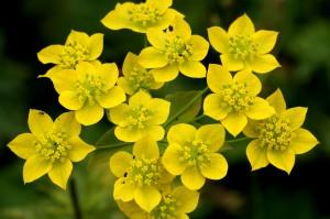 Володушка золотистая цветы крупный план
