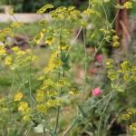 Володушка золотистая в саду