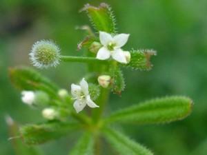Подмаренник цепкий цветы крупный план