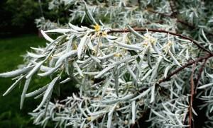 Лох узколистный ветви с листьями и цветами