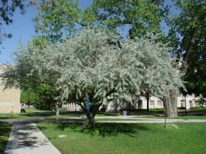 Лох восточный дерево в парке