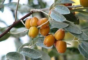 Лох узколистный плоды на ветке