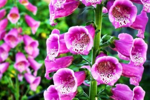 Наперстянка пурпурная крупный план