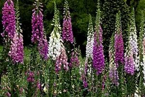 Наперстянка пурпурная цветы