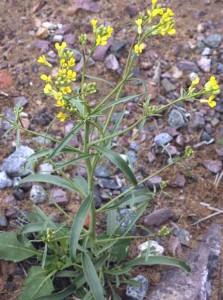 Сирения стручковая растение в природе