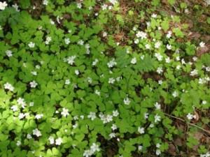 Кислица обыкновенная цветущая в лесу