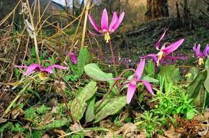 Кандык сибирский цветущий в лесу