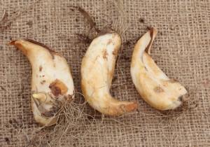 луковицы кандыка сибирского