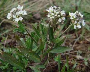 Икотник серый растение