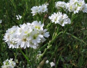 Икотник серый соцветия