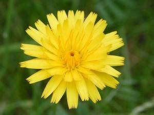 Кульбаба осенняя цветок крупный план