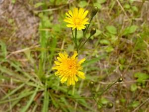 Кульбаба осенняя цветущая