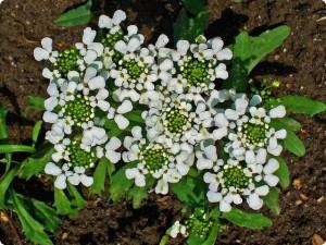 Иберийка горькая молодое растение