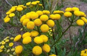 пижма цветки от глистов