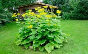 растение девясил в саду