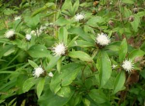 Атрактилодес яйцевидный листья и цветы