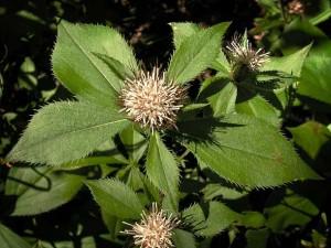 Противопоказания Атрактилодес яйцевидный цветущее растение