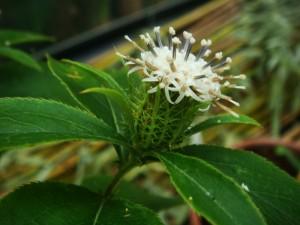Атрактилодес яйцевидный цветок крупный план