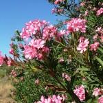 Олеандр обыкновенный цветущий на природе