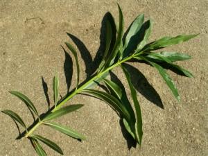 Олеандр обыкновенный веточка с листьями