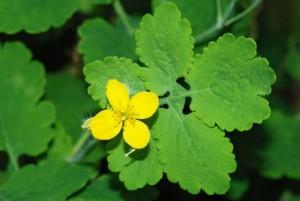 чистотел цветок и листья крупный план