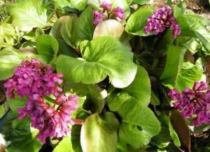 Растение бадан цветы и листья