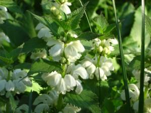 яснотка белая цветущее растение