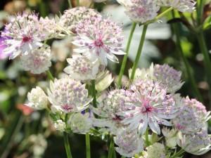 Астранция крупная цветы