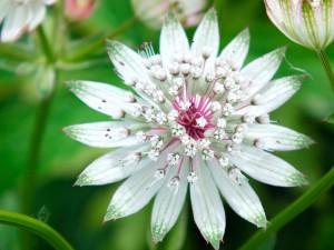 Астранция крупная цветок крупный план