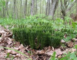 Плаун-баранец в лесу