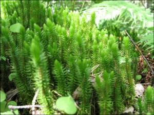 Баранец обыкновенный зеленые побеги
