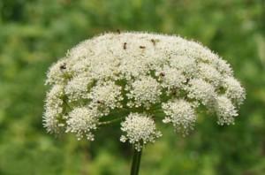 Жабрица порезниковая соцветие крупный план