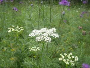 Жабрица порезниковая цветущее растение