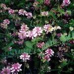 Вязель пестрый цветущий