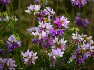 Цветы вязеля пестрого