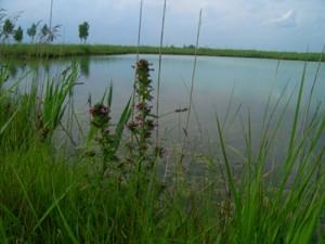 Мытник болотный на берегу озера