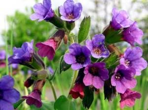 трава медуницы с цветками